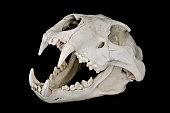 Lion Skull