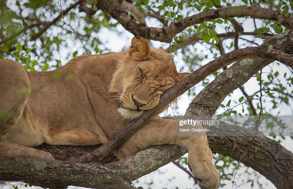 Lion sleeping in tree with scrunched face : Stock Photo
