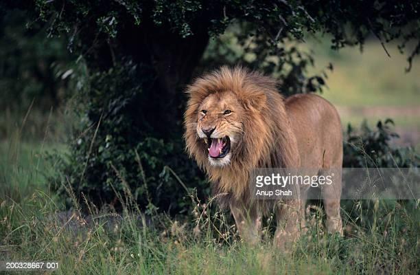 Lion (Panthera leo) snarling, Masai Mara National Reserve, Kenya