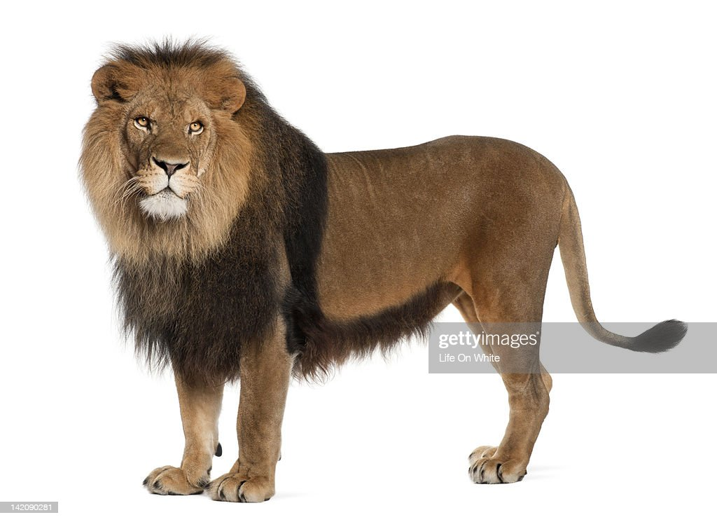 Lion standing and looking away : Stock Photo
