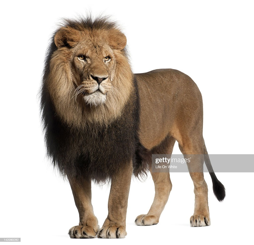 Lion Standing Roaring Panthera Leo Stock Photo   Getty Images