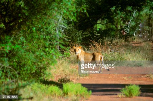 Lion (Panthera leo) standing at the roadside in a forest, Makalali Game Reserve, South Africa : Foto de stock