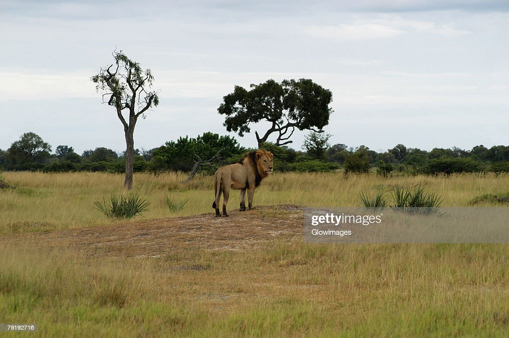 Lion (Panthera leo) standing in a forest, Okavango Delta, Botswana : Stock Photo