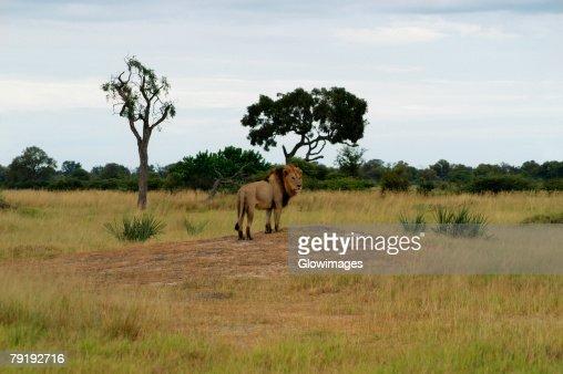 Lion (Panthera leo) standing in a forest, Okavango Delta, Botswana : Foto de stock