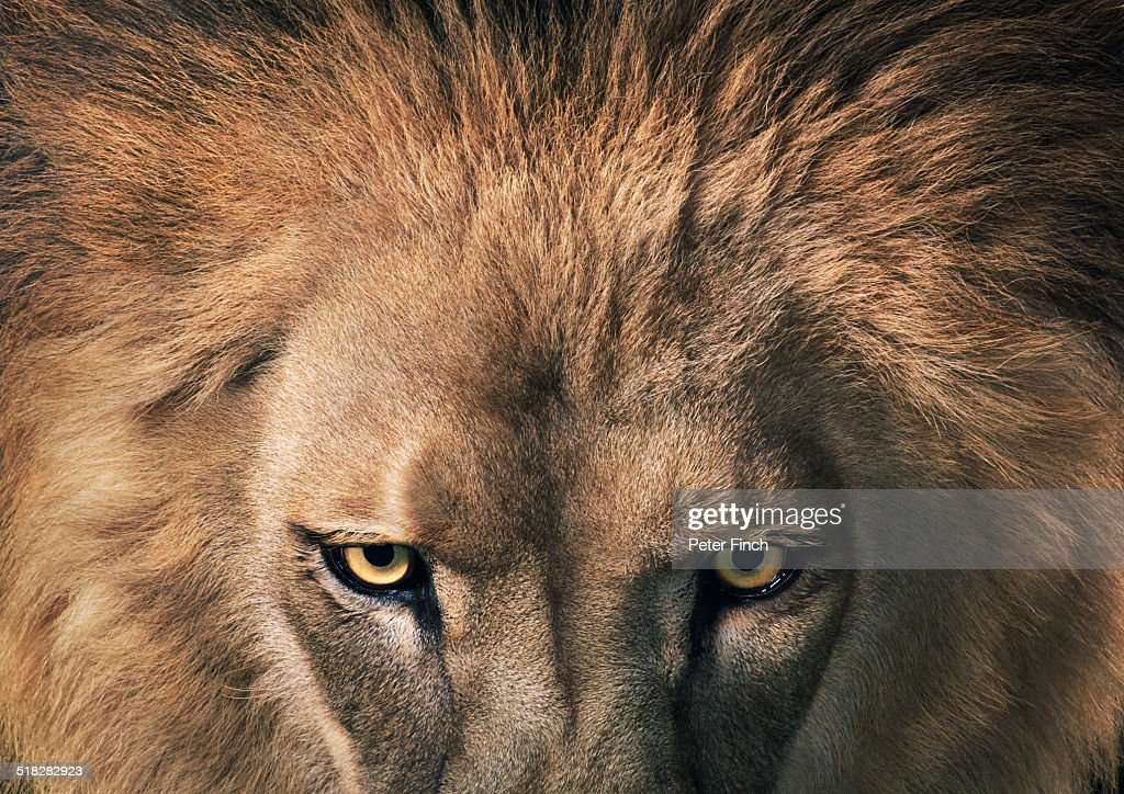 Lion staring : Stock Photo