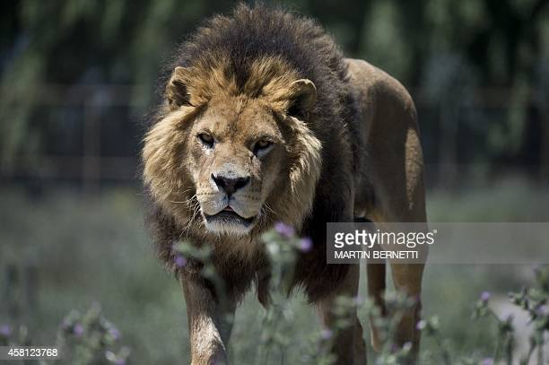 A lion strolls along the Safari Lion Zoo in Rancagua Chile on October 30 2014 the Safari Park Zoo is the only park in Latin America where tourists...