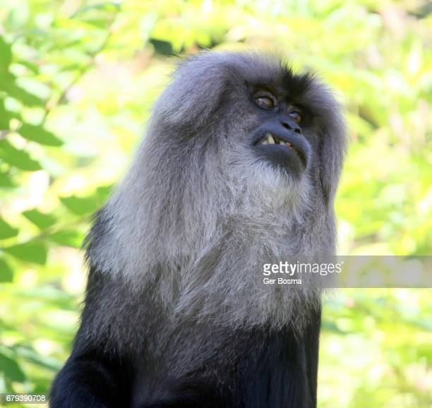Lion Tailed Macaque Eating