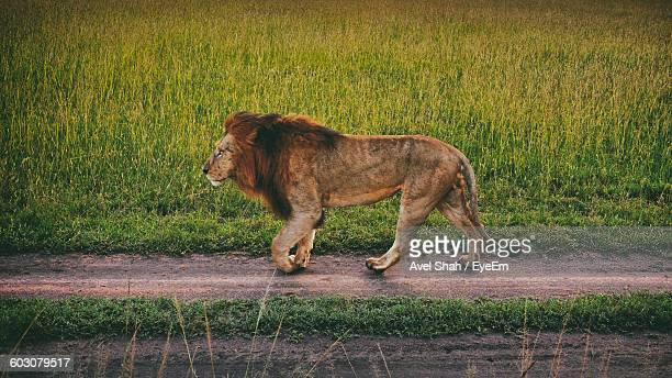 Lion Walking Against Grassy Field