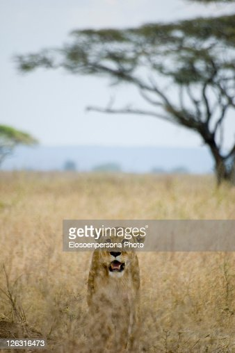 Lion walking in grass : Stock Photo
