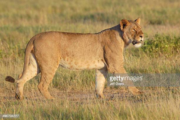 A lion walks across the grassland of the Amboseli National Park Kenya The Park is on the border with Tanzania and Mount Kilimanjaro overlooks the...