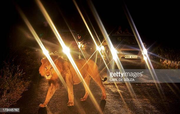 A lion walks past a queue of cars in Nairobi National Park on July 14 2013 The wild lion brought traffic to a standstill near the entrance to the...