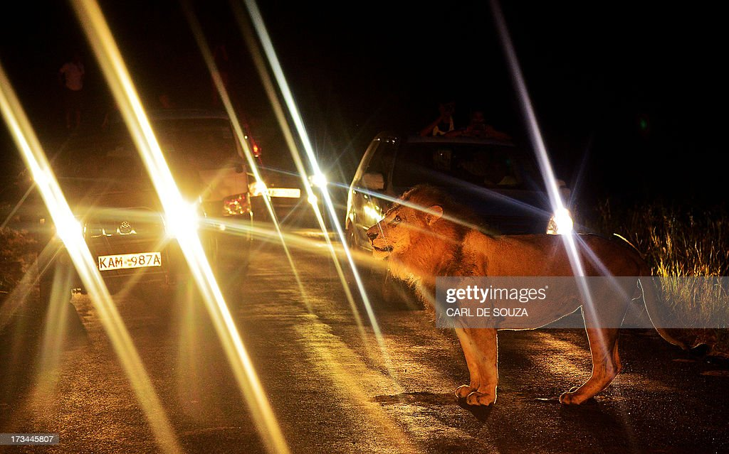 A lion walks past a queue of cars in Nairobi National Park on July 14, 2013. The wild lion brought traffic to a standstill near the entrance to the park as curious tourists risked breaking park rules by leaving after closing time to view the spectacle. AFP PHOTO / CARL DE SOUZA