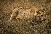Lion walks through the field