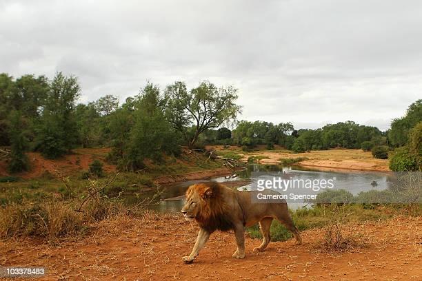 A lion walks through the Pafuri game reserve on July 22 2010 in Kruger National Park South Africa Kruger National Park is one of the largest game...