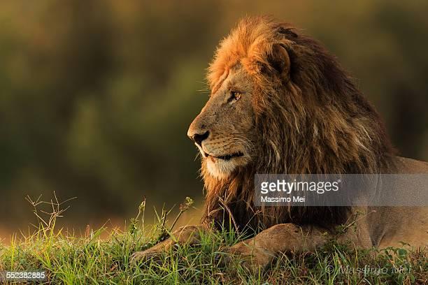 Lion watching sunrise
