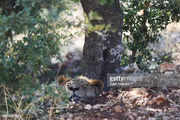 Lion who arrived from an Aleppo zoo in northern Syria relaxes under a tree in the AlMa'wa wildlife reserve near Souf on August 14 2017 in northen...