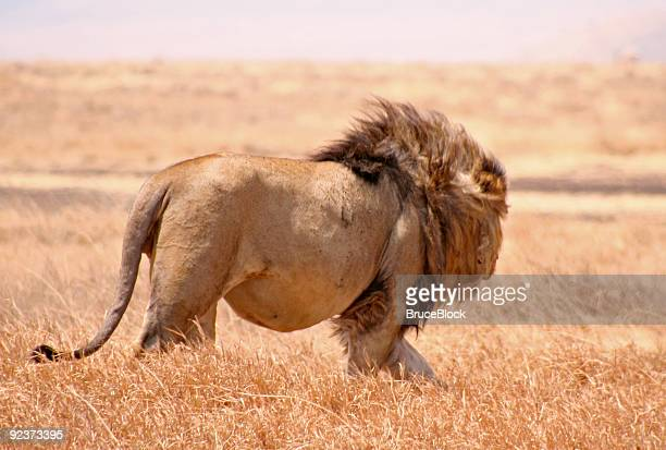 Lion with a Full Belly