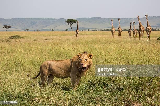 Lion avec troupeau de girafes dans l'arrière-plan