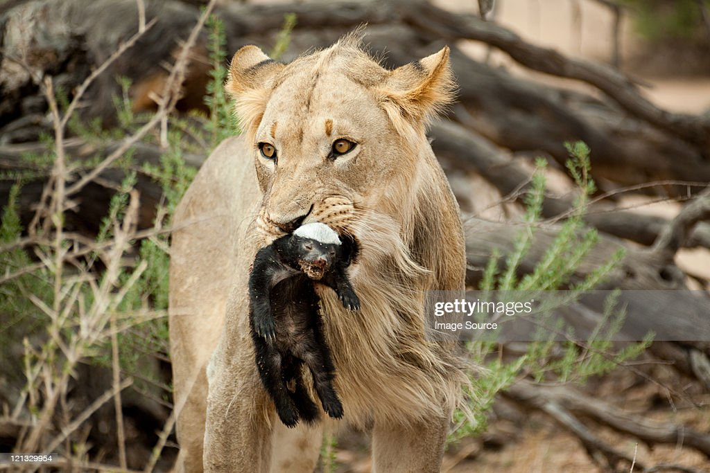 Lion with honey badger in mouth : Stock Photo