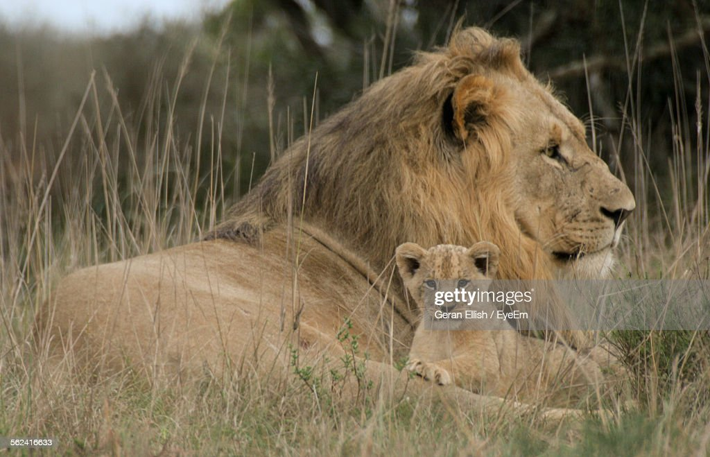 Lion With Its Cub