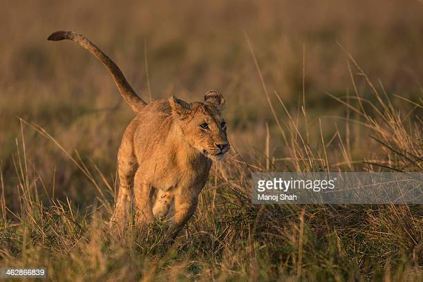 Lion youngster running
