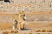 Lioness (Panthera leo) and a captured Springbok (Antidorcas marsupialis), prey, Nxai Pan, Makgadikgadi Pans National Park, Botswana, Africa