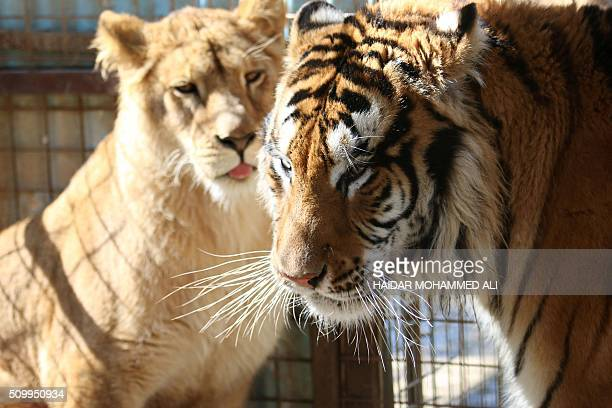 A lioness and a tiger are seen at a privately owned zoo adjacent to the Shat alArab river in the southern city of Basra 550kms south of Baghdad on...