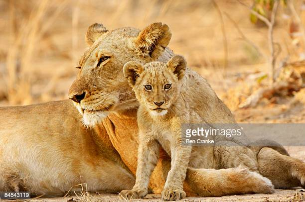 Lioness and cub, Kafue NP, Zambia