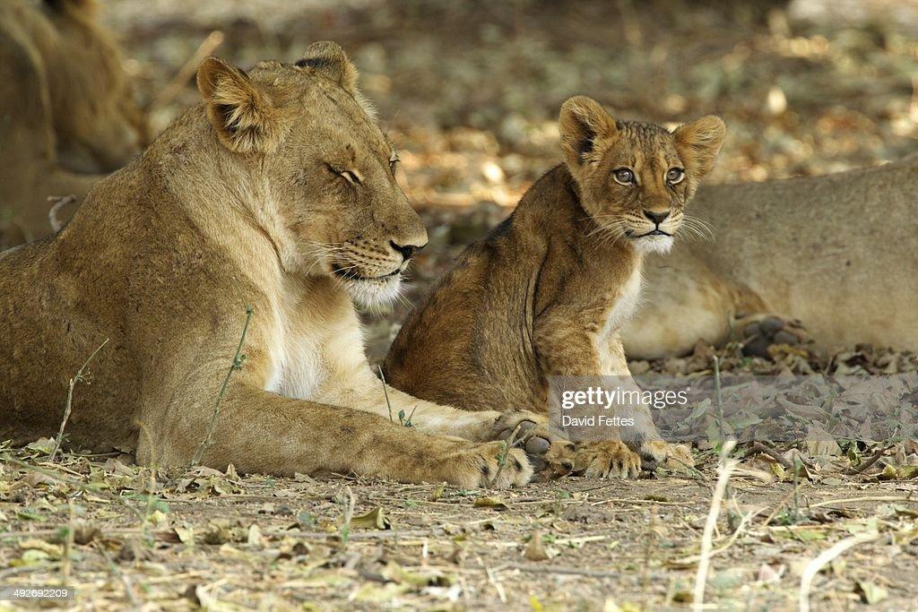Lioness and cub - Panthera leo : Stock Photo