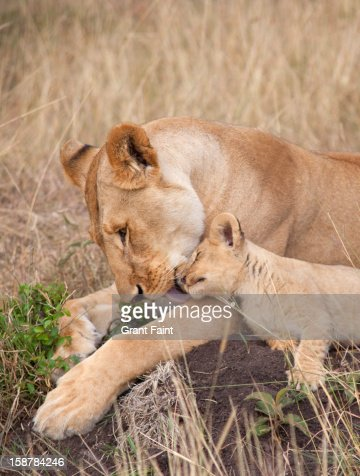 Lioness and cub : Stock Photo