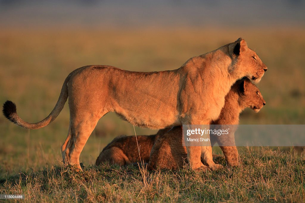 Lioness and cub watching lions playing : Stock Photo