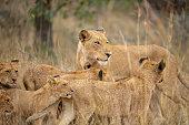 Lion cubs on a kudu kill.