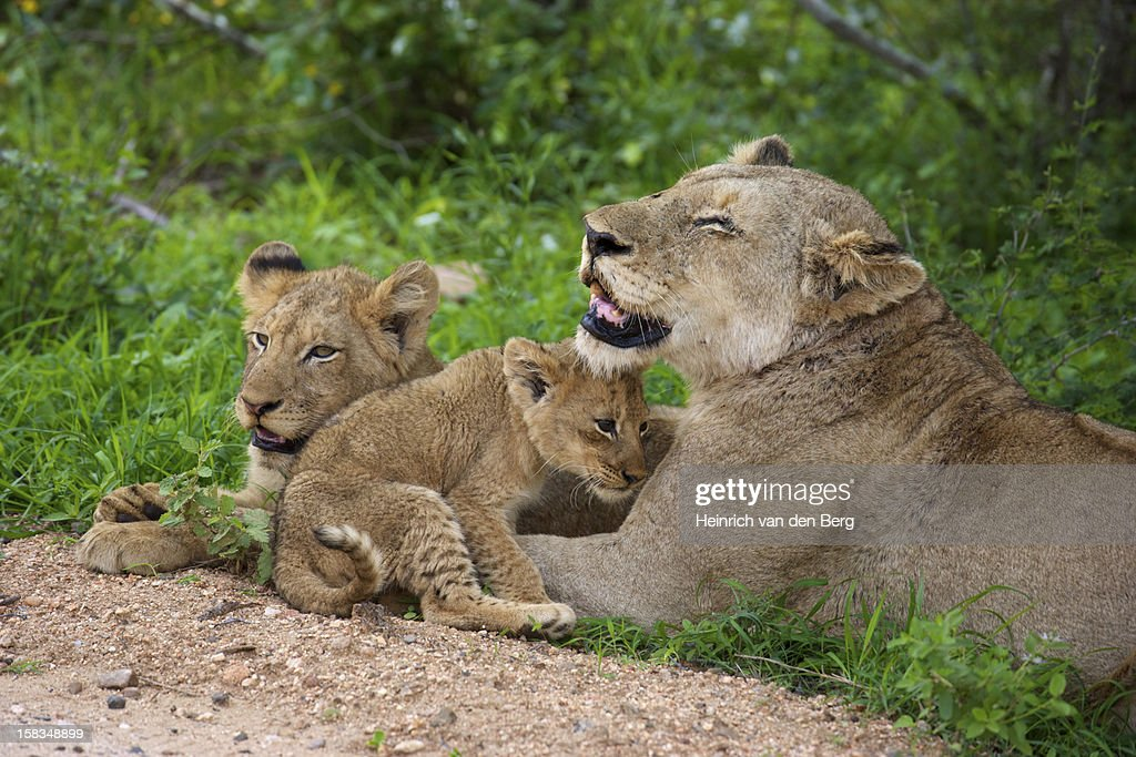 Lioness and cubs : Stock Photo