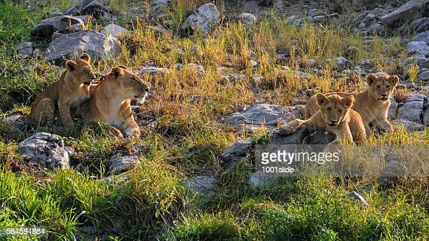 Lionne et des cubs