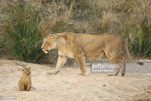 A lioness and her cub walk on the bank of the Makhutswi River at sunrise on July 21 2010 in the Edeni Game Reserve South Africa Edeni is a 21000acre...