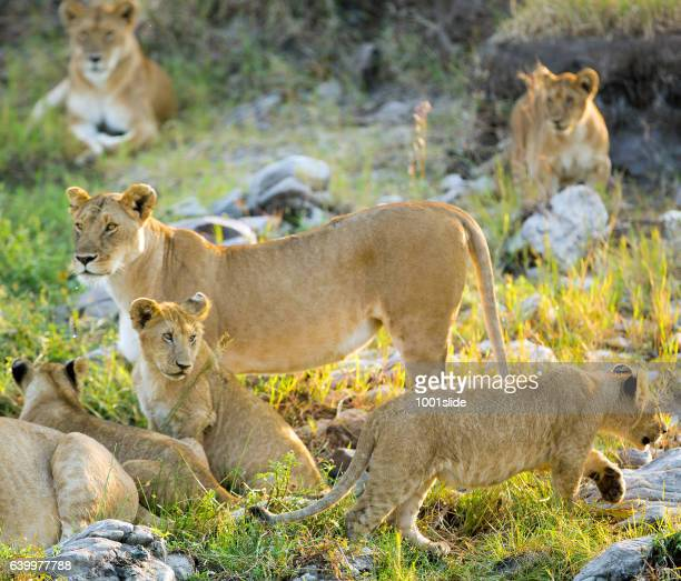 Lioness and lion cubs at the sunlight