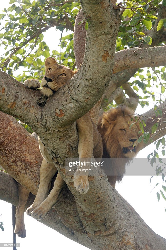 Lioness and lion in fig tree : Stock Photo