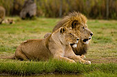 A lion couple in the lion park near Johannisburg, South Africa.