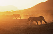 Lioness (Panthera leo) and lion walking at sunset, side view