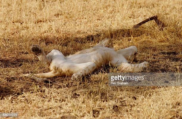 Lioness asleep Grumeti Tanzania East Africa