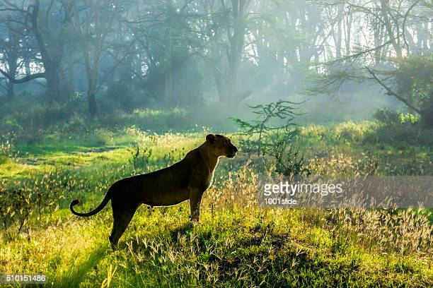 Lioness at wild watching for preying