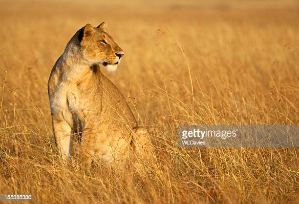 Lioness blends into the grass