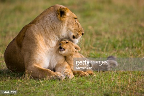 Lioness caring for her young loving cub : Stock Photo