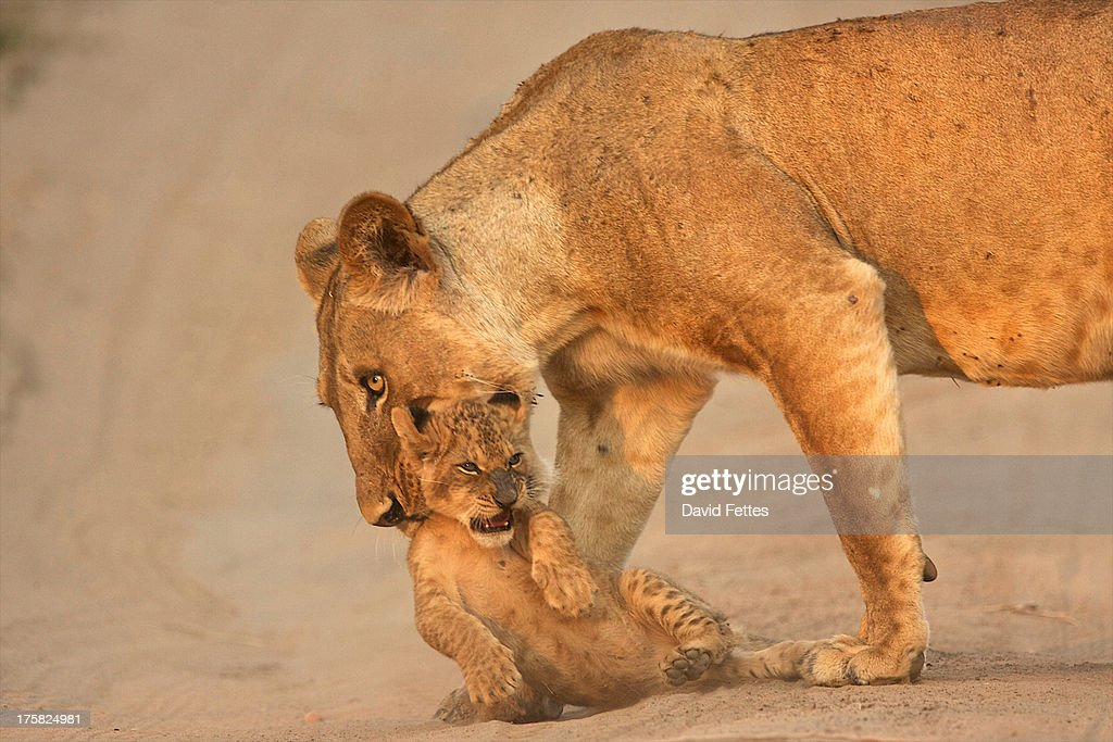 Lioness carrying cub, Mana Pools National Park,  Zimbabwe, Africa : Stock Photo