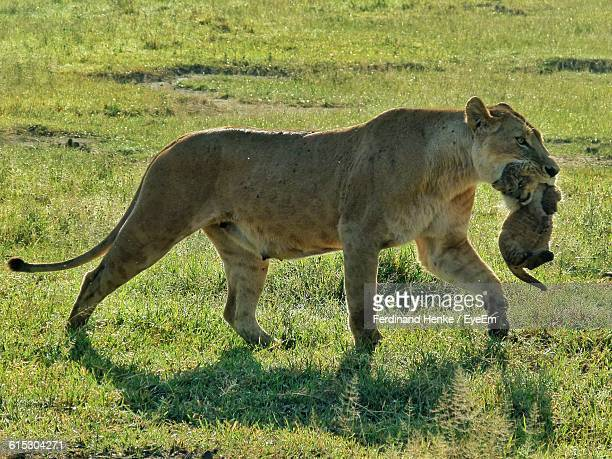 Lioness Carrying Cub On Grassy Field