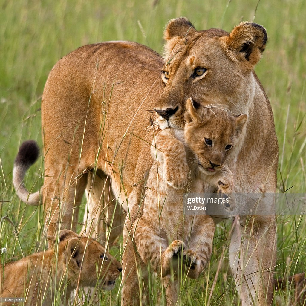 Lioness carrying cub : Stock Photo