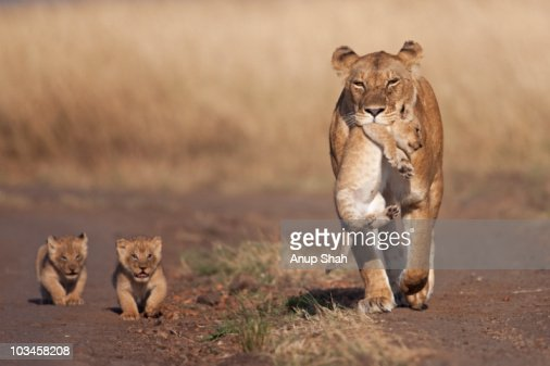 Lioness carrying one cub followed by two others