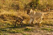 Lioness chase attack spotted hyena wildlife savanna Africa safari Kruger