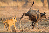 Lioness (Panthera leo) chases after an African Buffalo (Syncerus caffer)