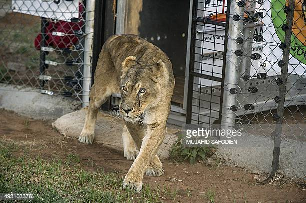 A Lioness coming from an abusive background in Europe is released at the Lionsrock Lions Sanctuary on October 17 2015 in Bethlehem South Africa where...